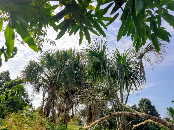 The picture of the palm trees in Peru.